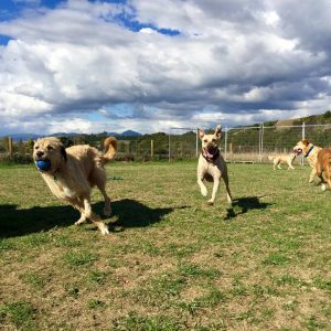Dogs Running With A Ball At Spring Grove Dog Kennels