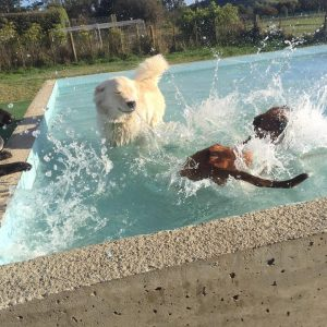 Dogs Enjoying The Pool At Spring Grove Dog Kennels