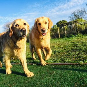Two Retriever Dogs Enjoying Spring Grove Dog Kennels